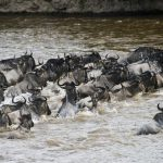 The wildebeest migration | masai mara migration 4