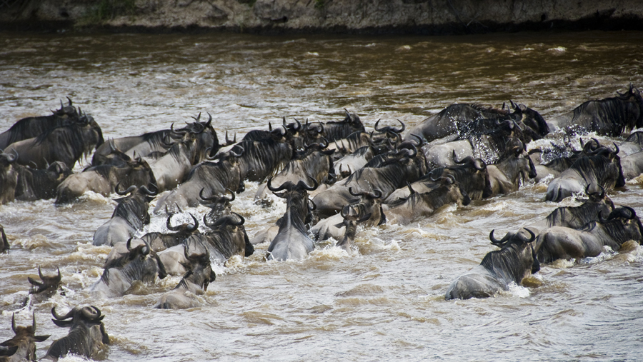 The wildebeest migration | masai mara migration 2