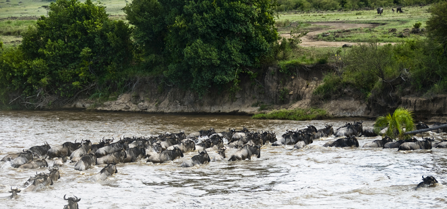 The wildebeest migration | masai mara migration 3
